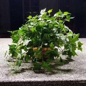 Silk Ivy Plant